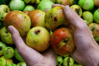 Apples Grown In Allotment