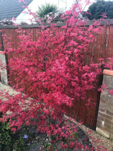 growing a Japanese maple tree