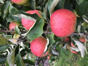 growing apples in your garden