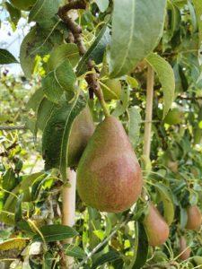 growing pears in your garden