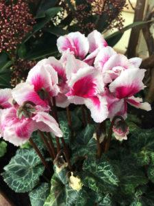 Growing Hardy cyclamen