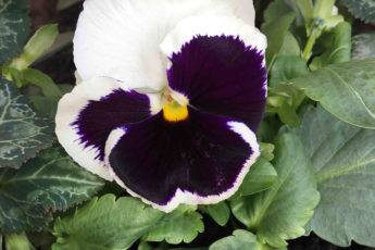 Growing Winter pansies in December