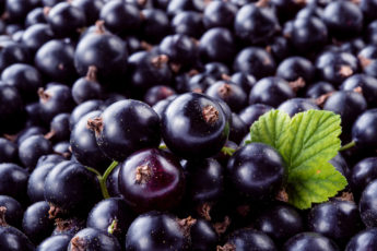 grow your own blackcurrants