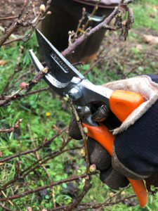 pruning your currant bush