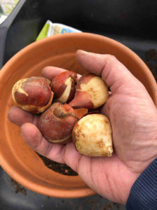 tulip bulbs can be planted in plant pots