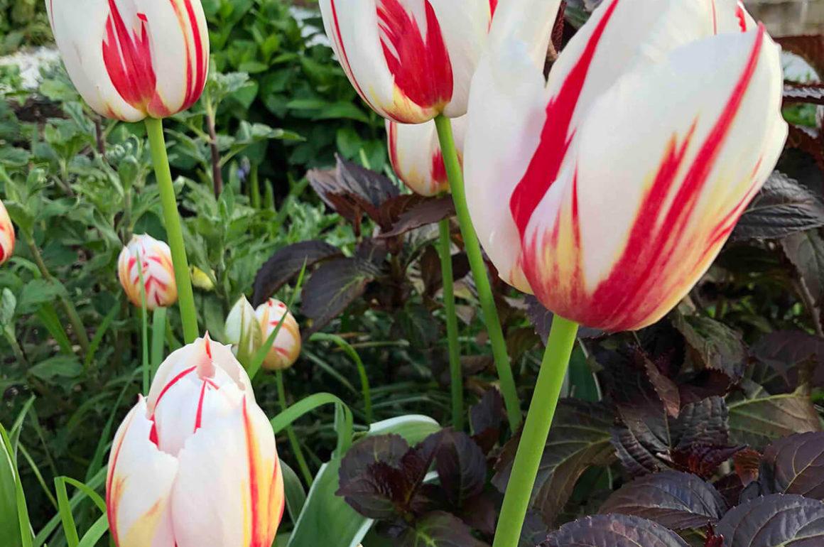 tulips in springtime