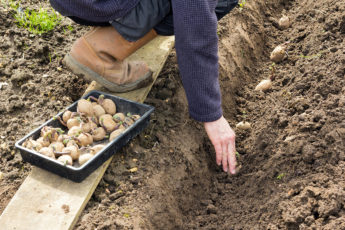 Planting potatoes in crop rotation