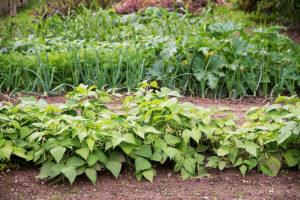 vegetable crop rotation