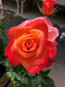 bare root rose