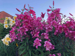 planting lilies in your garden