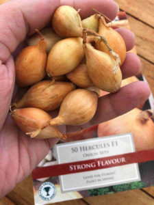 planting onion sets in your garden in april
