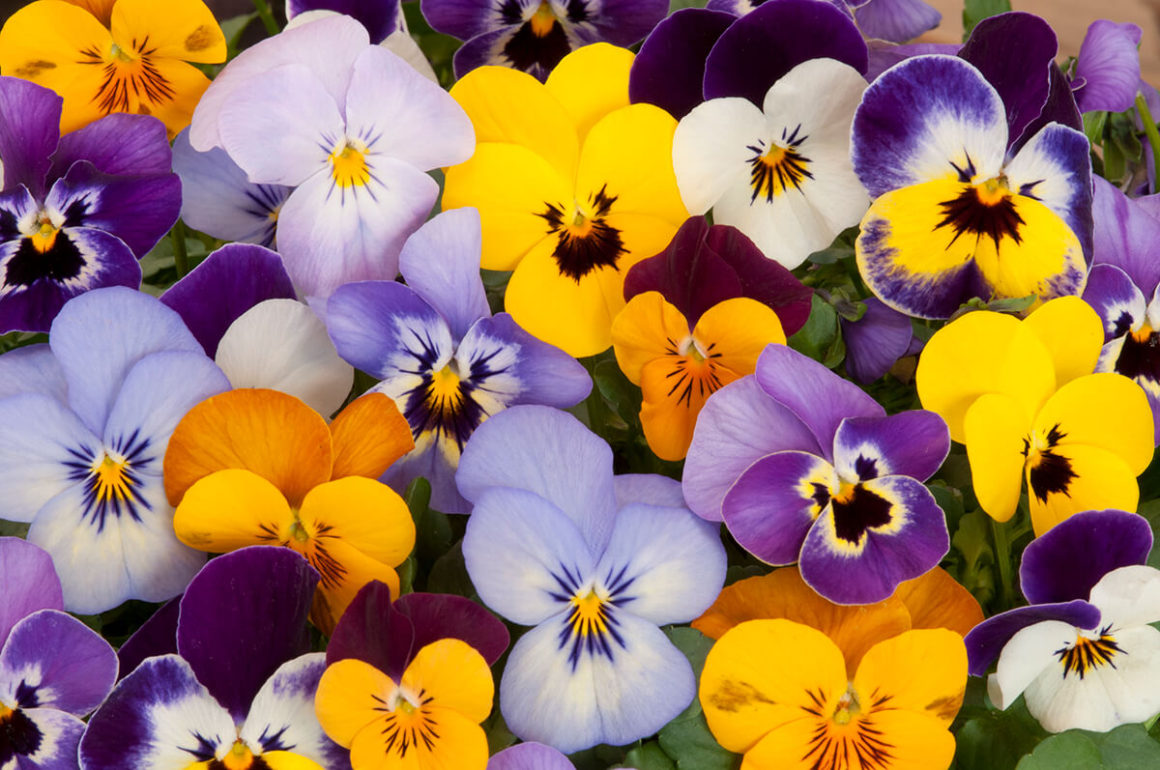 Plant pansies in your garden in spring