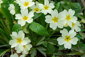 growing pansies in your garden in spring