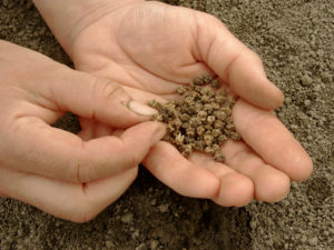 Beetroot seed clusters