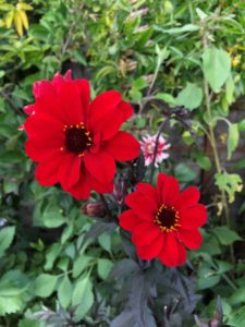 is it best to grow dahlias in pots or a garden border?