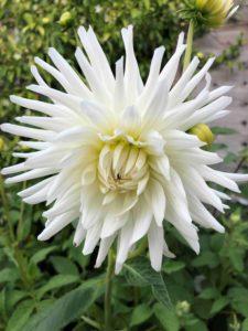 planting dahlias in your garden