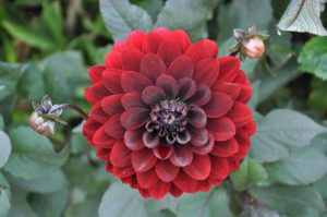 which type of dahlia is best?