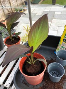 growing canna plants in plant pots