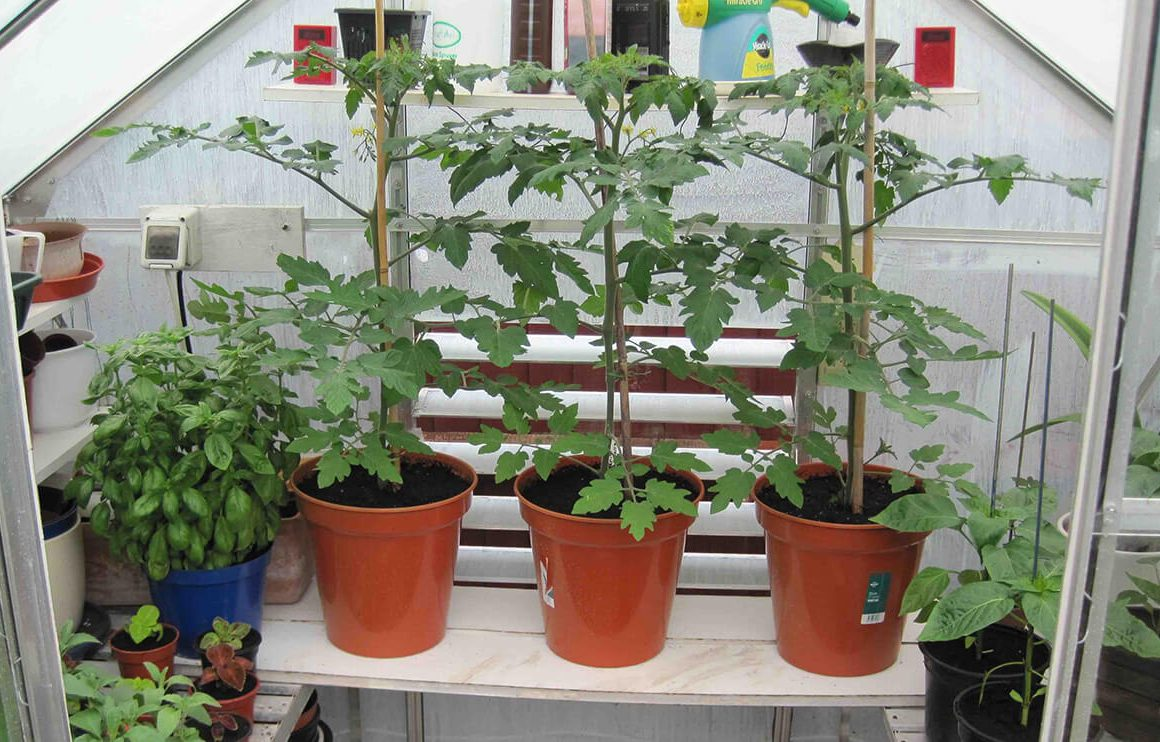 growing tomatoes in plant pots