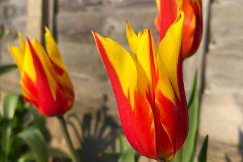 Plant tulips in your garden in June