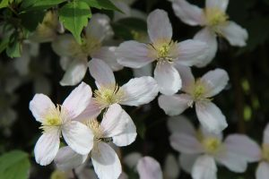 trim unruly clematis plants