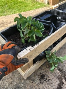 fill plant liners with peat free compost