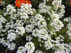 Alyssum is an easy to grow summer bedding plant