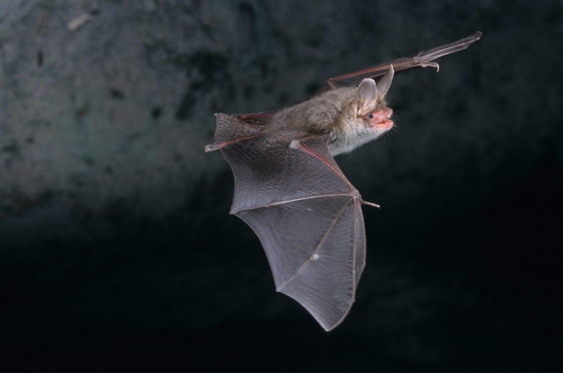 Bechstein bat flying at night