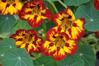 Growing nasturtium in your garden