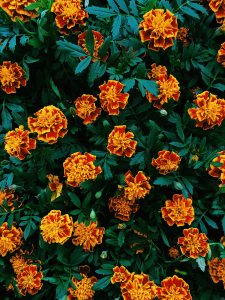 French marigolds provide a beautiful citrus shade