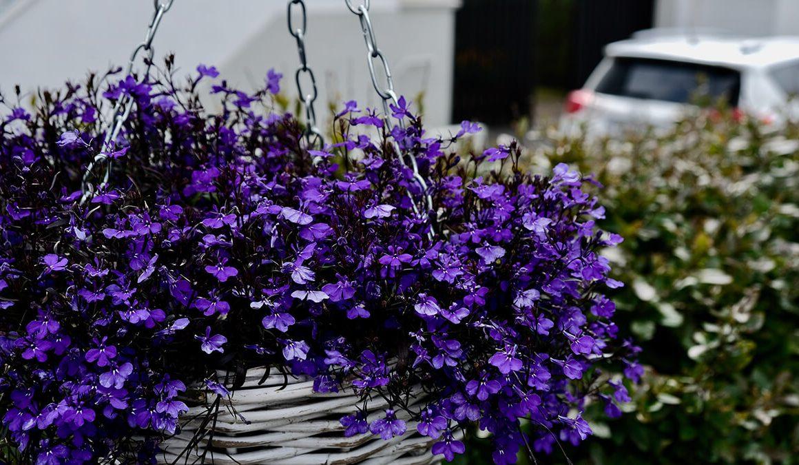 grow lobelia plants in your hanging baskets