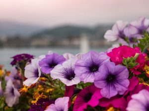 Petunias are a great summer bedding plant