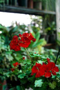 grow trailing pelargonium in your garden