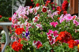 the best hanging basket flowers for your garden