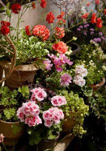 grow pelargoniums in you garden