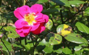 Rose black spots