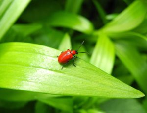 Lilly beetles in your garden