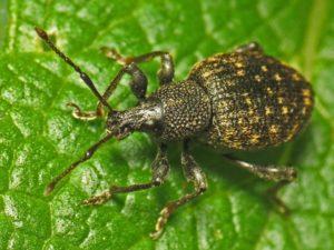 remove garden pests, vine weevils, from your garden