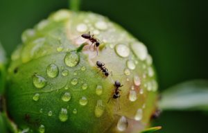 how to get rid of ants from your garden