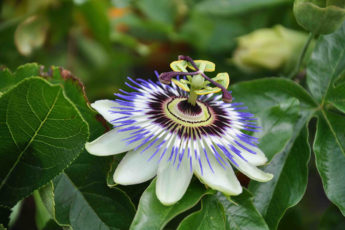 Passion flowers are a great exotic plant to grow in your garden