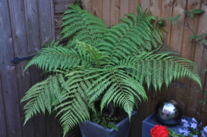 grow tree ferns in garden containers