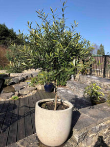 grow olive trees with other exotic plants