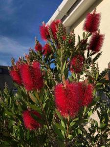 bottlebrush plants form the backbone of tropical plant borders