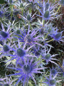 sea holly plants are easy to grow