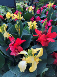 cannas are a great tropical plant to grow in your garden