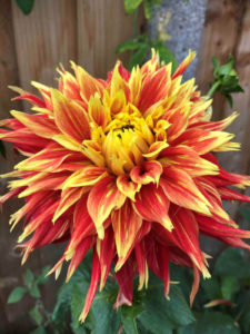 add a tropical touch to sunny borders with Dahlias