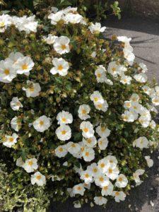 Grow cistus rock rose plants in your garden