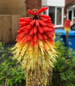 grow exotic plant red hot poker in your garden