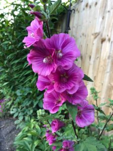Mallow plants are great to grow in your garden in July