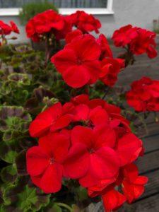 geraniums are a great natural slug defence